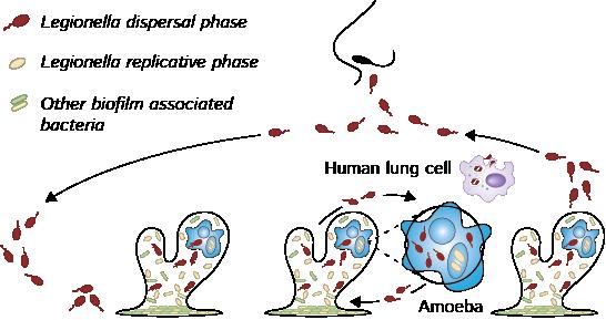 Legionella life-cycle